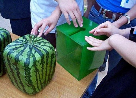 Square Watermelons from Japan 2