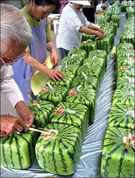 Square Watermelons from Japan 3