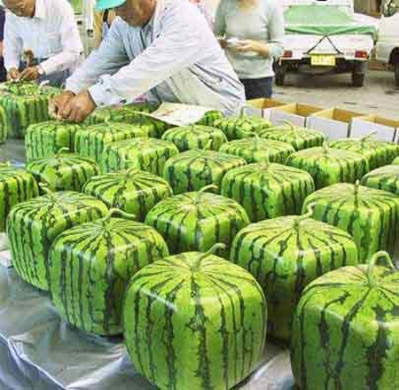 Square Watermelons from Japan 4