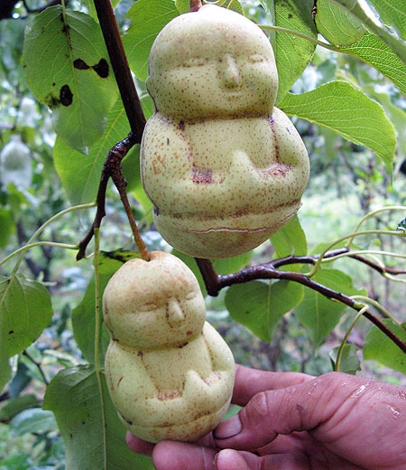 Pears Shaped Like Buddha