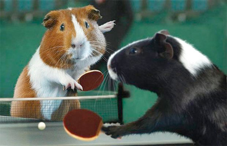 The Guinea Pig Olympics