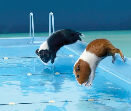 Guinea Pig Summer Olympics