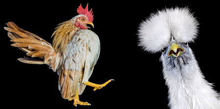 Chicken Beauty Pageant