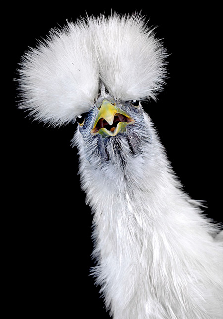 Beautiful Photos of Chickens