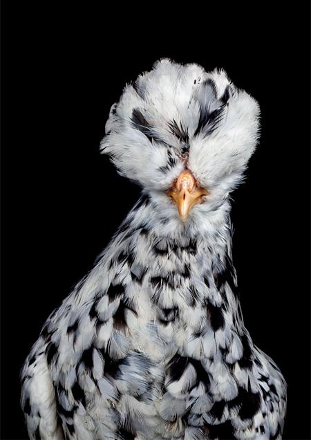 Photos of Chicken