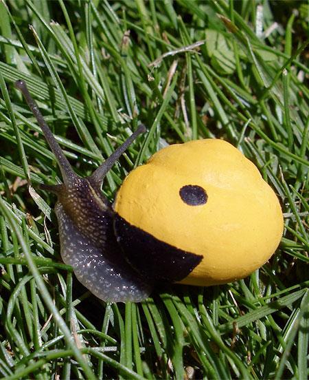 Pacman Snail