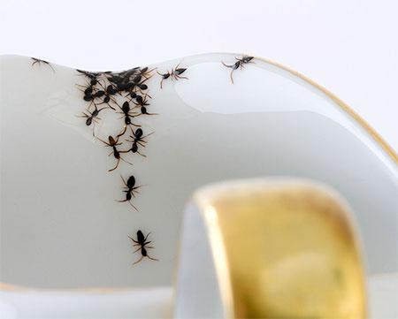 Evelyn Bracklow Ants