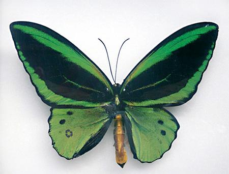 Sarah Garzoni Butterfly Paintings