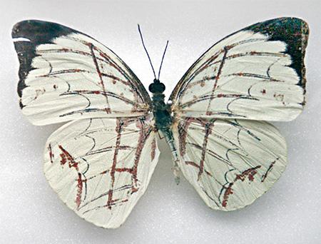 Sarah Garzoni Butterfly Art