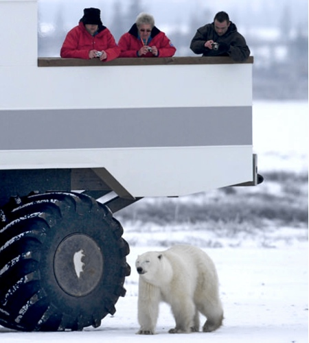 Great White Bear Tour