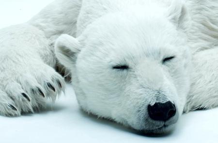 ANIMALS AS ART Polar Bear