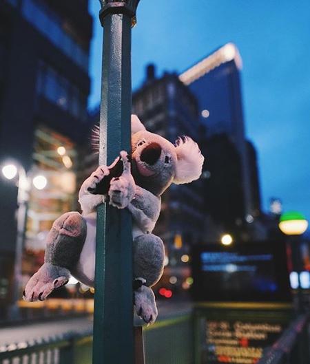 Koalas in New York City