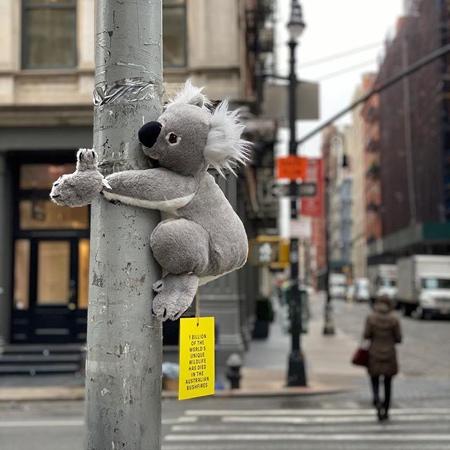 Koala in New York City